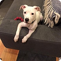 Adopt A Pet :: Leddy aka Ladybug - Chicago, IL