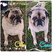 Adopt A Pet :: Ching and Chang - Greensboro, MD