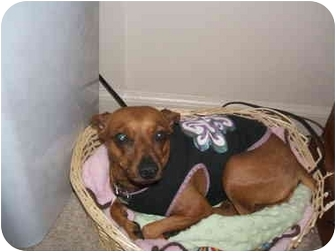 Miniature Pinscher Dog for adoption in SCOTTSDALE, Arizona - CINNAMON