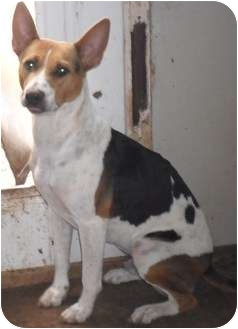 Treeing Walker Coonhound/German Shepherd Dog Mix Dog for adoption in ...