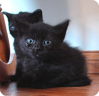 Domestic Mediumhair Kitten for adoption in Florence, Kentucky - Niall