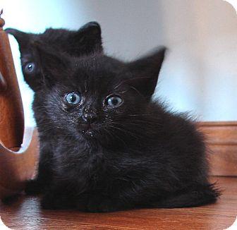 Domestic Mediumhair Kitten for adoption in Florence, Kentucky - Niall