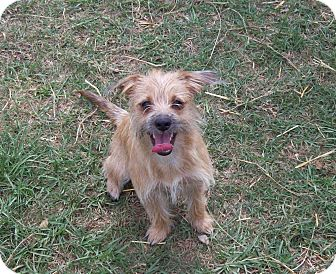 Dog Ready For Adoption Miniature Schnauzer Cairn Terrier Mixed | Dog ...