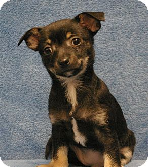 Chihuahua Mix Puppy for adoption in Sacramento, California - Rose
