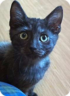 Burmese Kitten for adoption in Escondido, California - Sinbad