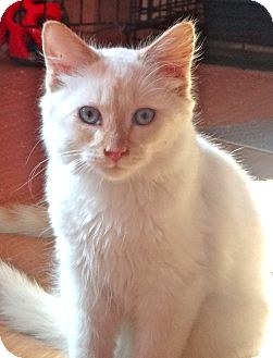 Burmese Kitten for adoption in Escondido, California - Aslan
