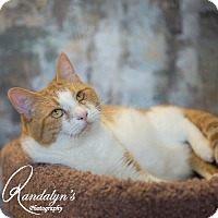 Domestic Shorthair Cat for adoption in Greenville, Illinois - Faye