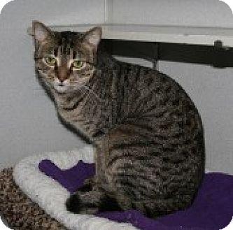 Domestic Shorthair Cat for adoption in Marietta, Georgia - Jessica