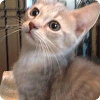 Adopt A Pet :: Lauren - East Brunswick, NJ