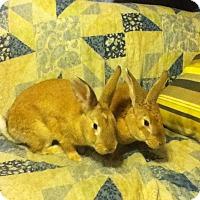 Adopt A Pet :: Bambi - Long Valley, NJ