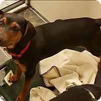 Adopt A Pet :: Lydia - Neosho, MO