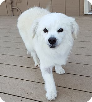 Maltese/American Eskimo Dog Mix Dog for adoption in Bend, Oregon - Frosty - Watch his video!