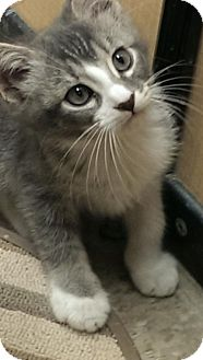 Domestic Shorthair Cat for adoption in Los Angeles, California - Olive