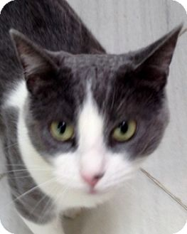 Domestic Shorthair Cat for adoption in Mt. Vernon, New York - Gracie