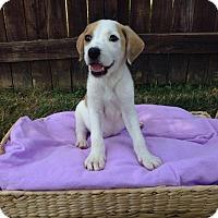 Adopt A Pet :: Randa - New Oxford, PA