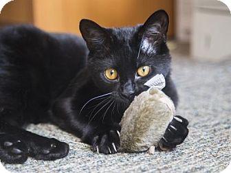 Domestic Shorthair Cat for adoption in Somerville, Massachusetts - Dabby