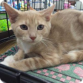 Domestic Shorthair Kitten for adoption in Whitehall, Pennsylvania - Otto