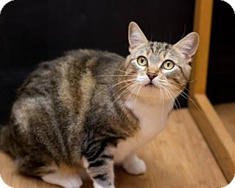 Domestic Mediumhair Cat for adoption in Fountain Hills, Arizona - Fiona