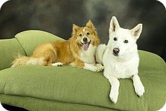 Collie/Golden Retriever Mix Dog for adoption in Anchorage, Alaska - Copper