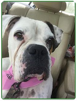 Boxer Dog for adoption in Brentwood, Tennessee - Bianaca