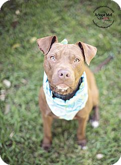 Staffordshire Bull Terrier/Pit Bull Terrier Mix Dog for adoption in Portland, Oregon - Bruno