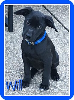 Terrier (Unknown Type, Small)/Hound (Unknown Type) Mix Puppy for adoption in Elburn, Illinois - Will