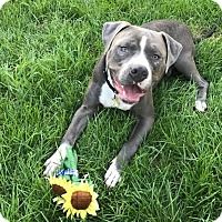 American Bulldog/Terrier (Unknown Type, Medium) Mix Dog for adoption in Northville, Michigan - Larry