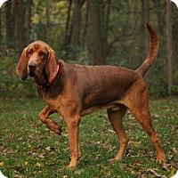 Bloodhound Mix Dog for adoption in Lafayette, Indiana - Brick