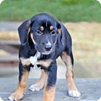 Adopt A Pet :: PUPPY VIOLET - Franklin, TN