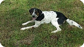English Springer Spaniel/Coonhound Mix Puppy for adoption in Cincinnati, Ohio - Anabel: Lockport KY
