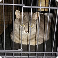 Domestic Shorthair Cat for adoption in Bolingbrook, Illinois - HAZEL