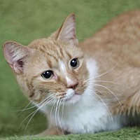 Domestic Shorthair Cat for adoption in Raleigh, North Carolina - Binky K