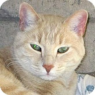 Domestic Shorthair Cat for adoption in Phoenix, Arizona - Romeo
