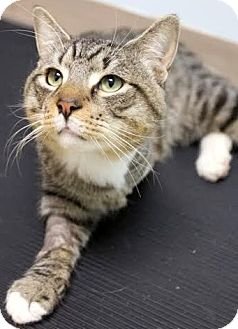 Domestic Shorthair Cat for adoption in Montclair, New Jersey - Einstein