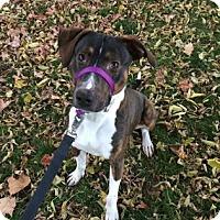 Adopt A Pet :: Gunner - Lowell, MA