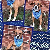 Adopt A Pet :: BRODY - Lexington, NC