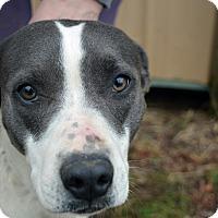 Adopt A Pet :: Bella - Manchester, NH