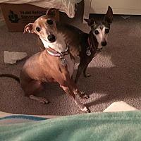 Adopt A Pet :: Baylee & Toby in Spring TX - Argyle, TX