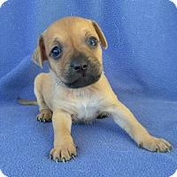 Adopt A Pet :: Molly - Lawrenceville, GA