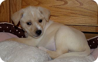 Labrador Retriever/Boxer Mix Puppy for adoption in Huntsville, Alabama - Zaria