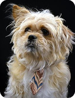 Lhasa Apso/Cairn Terrier Mix Dog for adoption in Bridgeton, Missouri - Buddy