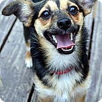 Adopt A Pet :: Sadie - Bridgeton, MO