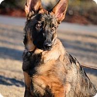 Adopt A Pet :: Malinois Puppy - Dacula, GA