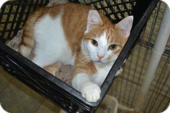 Domestic Shorthair Cat for adoption in East Smithfield, Pennsylvania - Cadbury