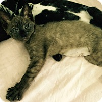 Adopt A Pet :: Iris - Speonk, NY