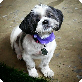 shih tzu mix rescue urbana oh shih tzu mix meet tiki a dog for adoption 206