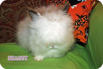 Lionhead Mix for adoption in Walker, Louisiana - Shaggy