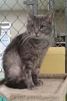 Domestic Shorthair Cat for adoption in Pottsville, Pennsylvania - Kineta