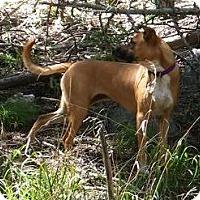 German Shepherd Dog/Catahoula Leopard Dog Mix Dog for adoption in Corrales, New Mexico - Keena