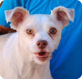 Terrier (Unknown Type, Small) Mix Dog for adoption in Las Vegas, Nevada - Wylie